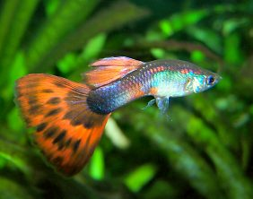 Zierfische f rs gesellschaftsbecken zuchterfolge mit dem for Zierfische aquarium